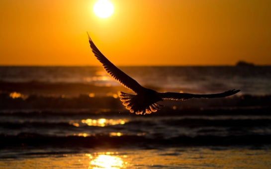 flying-bird-in-sunset wallpaper